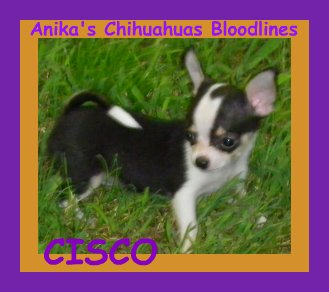 anika's felicity magic martdigraz, anika's chihuahua, blacktri colorted chihuahua,chihuahua grandson of mardigraz my specialty champion