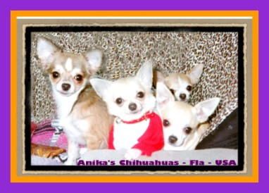 chihuahua pups at anikas JACQUIBETH