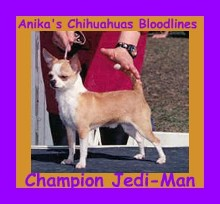ch-anika's-feliz-magic-jedi-man,images for anika-chihuahuas, images of show-chihuahuas,anika-chihuahuas-image-results